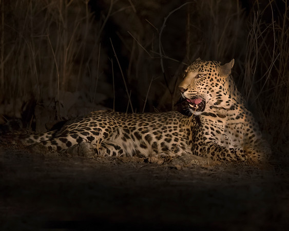 This night photograph by spotlight of a Leopard was captured in Bera, India (5/14). This photograph is protected by the U.S. Copyright Laws and shall not to be downloaded or reproduced by any means without the formal written permission of Ken Conger Photography.