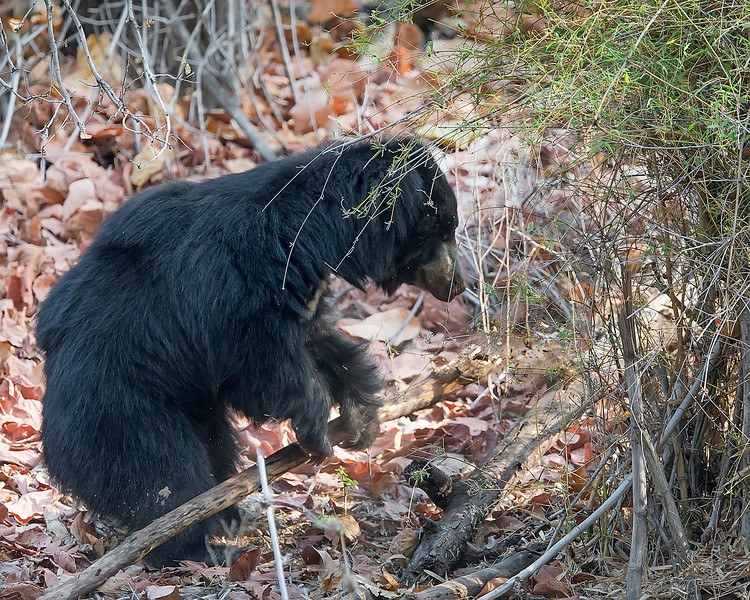 This photograph of a Sloth Bear tearing apart a tree limb was captured in Bandhavgrah National Park, India (5/14). This photograph is protected by the U.S. Copyright Laws and shall not to be downloaded or reproduced by any means without the formal written permission of Ken Conger Photography.