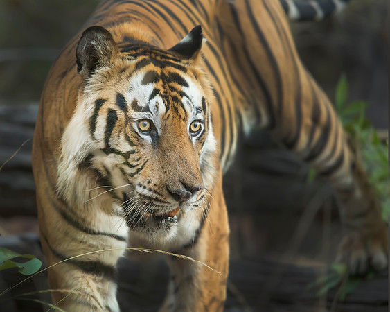 This photograph of a Bengal Tiger (dominant male Bamera) was captured in Bandhavgrah National Park, India (5/14). This photograph is protected by the U.S. Copyright Laws and shall not to be downloaded or reproduced by any means without the formal written permission of Ken Conger Photography.