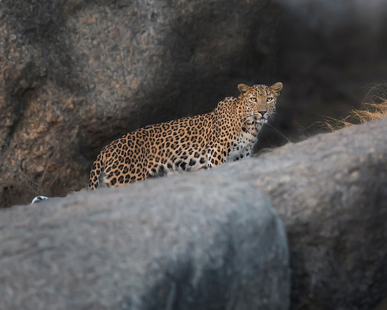 This photograph of a Leopard was captured in Bera, India (5/14). This photograph is protected by the U.S. Copyright Laws and shall not to be downloaded or reproduced by any means without the formal written permission of Ken Conger Photography.