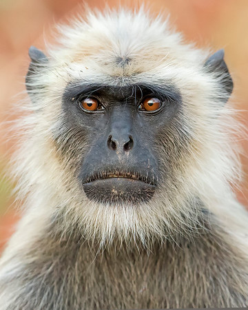 This photograph of Indian Gray Langur or Black Faced Monkey was captured in Bandhavgrah National Park, India (5/14). This photograph is protected by the U.S. Copyright Laws and shall not to be downloaded or reproduced by any means without the formal written permission of Ken Conger Photography.