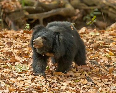 This photograph of a Sloth Bear was captured in Bandhavgrah National Park, India (5/14). This photograph is protected by the U.S. Copyright Laws and shall not to be downloaded or reproduced by any means without the formal written permission of Ken Conger Photography.