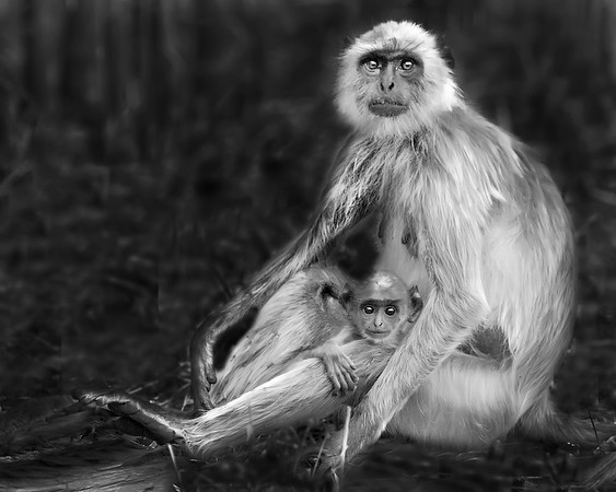 This photograph of mother and baby Indian Gray Langur or Black Faced Monkey was captured in Bandhavgrah National Park, India (5/14). This photograph is protected by the U.S. Copyright Laws and shall not to be downloaded or reproduced by any means without the formal written permission of Ken Conger Photography.