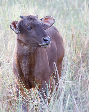 This photograph of a India Gaur or Indian Bison calf was captured in Bandhavgrah National Park, India (5/14). This photograph is protected by the U.S. Copyright Laws and shall not to be downloaded or reproduced by any means without the formal written permission of Ken Conger Photography.