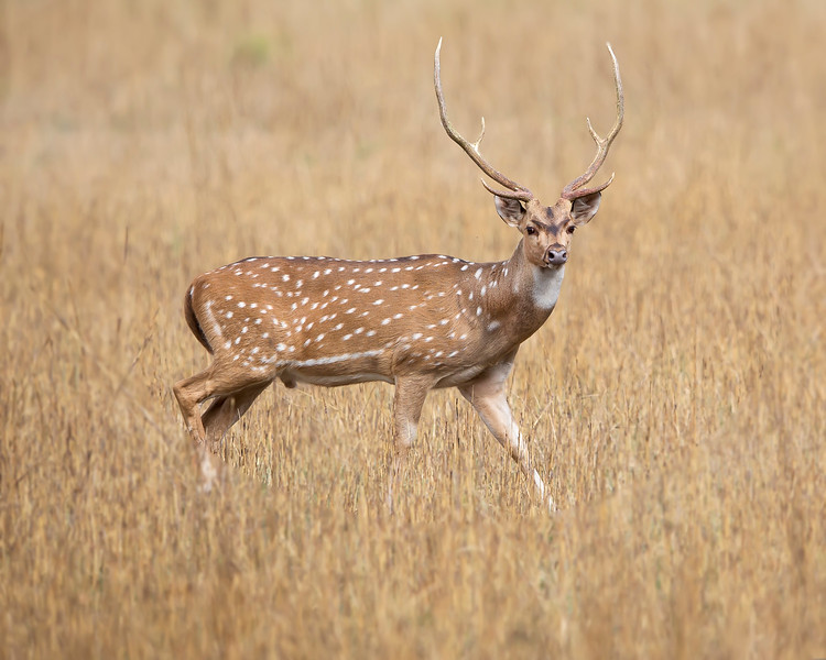 This photograph of Spotted, Chital or Axis Deer was captured in Bandhavgrah National Park, India (5/14). This photograph is protected by the U.S. Copyright Laws and shall not to be downloaded or reproduced by any means without the formal written permission of Ken Conger Photography.