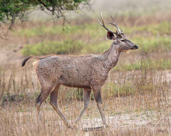 This photograph of Sambar Deer was captured in Bandhavgrah National Park, India (5/14). This photograph is protected by the U.S. Copyright Laws and shall not to be downloaded or reproduced by any means without the formal written permission of Ken Conger Photography.