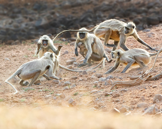 This photograph of Indian Gray Langur or Black Faced Monkeys fighting was captured in Bandhavgrah National Park, India (5/14). This photograph is protected by the U.S. Copyright Laws and shall not to be downloaded or reproduced by any means without the formal written permission of Ken Conger Photography.