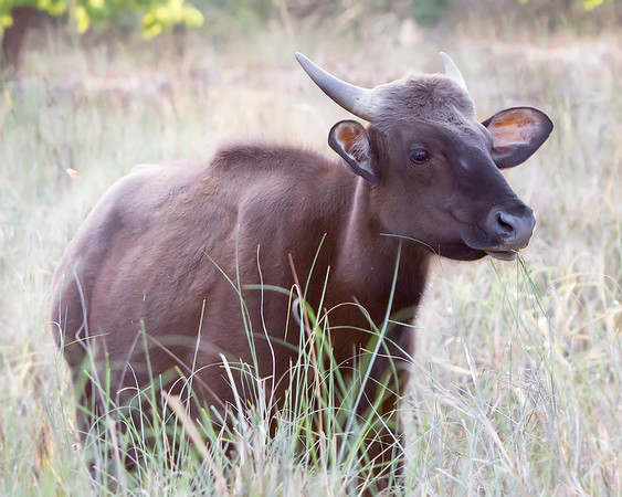 This photograph of a India Gaur or Indian Bison was captured in Bandhavgrah National Park, India (5/14). This photograph is protected by the U.S. Copyright Laws and shall not to be downloaded or reproduced by any means without the formal written permission of Ken Conger Photography.