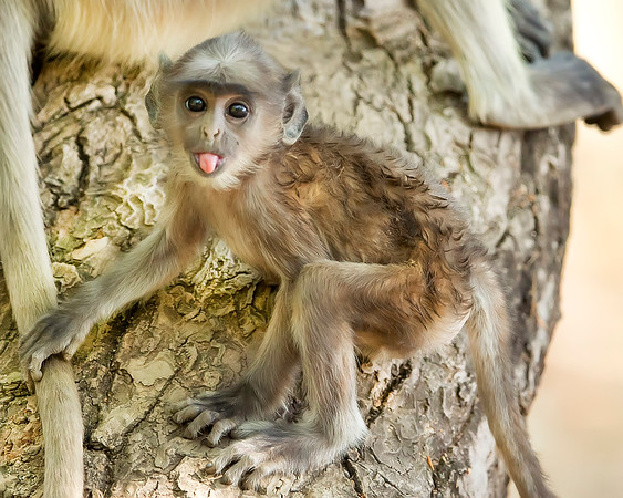 This photograph of baby Indian Gray Langur or Black Faced Monkey was captured in Bandhavgrah National Park, India (5/14). This photograph is protected by the U.S. Copyright Laws and shall not to be downloaded or reproduced by any means without the formal written permission of Ken Conger Photography.