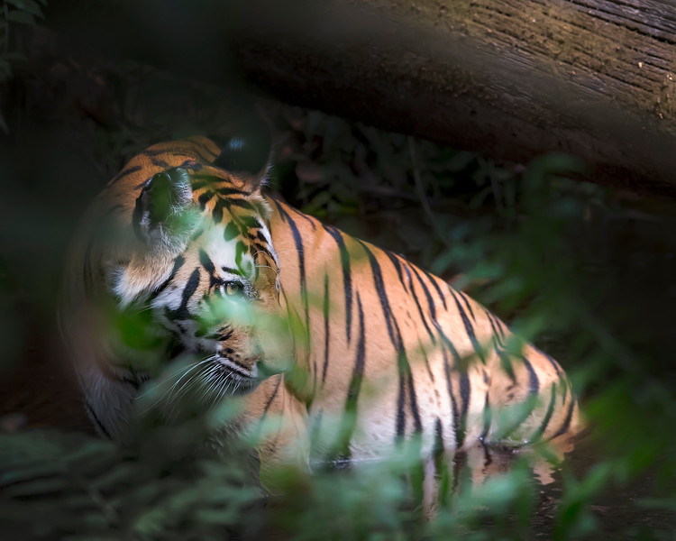 This photograph of a Bengal Tiger (Vijaya; One-Eye) was captured in Bandhavgrah National Park, India (5/14). This photograph is protected by the U.S. Copyright Laws and shall not to be downloaded or reproduced by any means without the formal written permission of Ken Conger Photography.