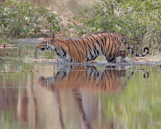 Bandhavgarh National Park Bengal Tiget