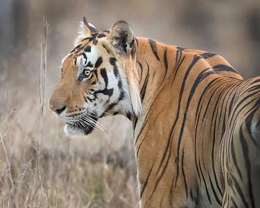 Kanha National Park Bengal Tiger