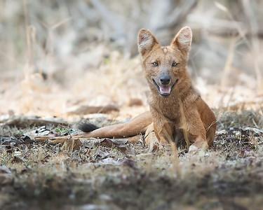 Nagarhole National Park Dhole or Asian Wild Dog