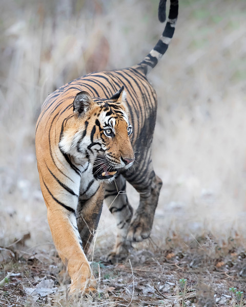 Nagarhole National Park Tiger