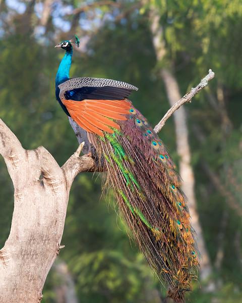 Nagarhole National Park Peacock