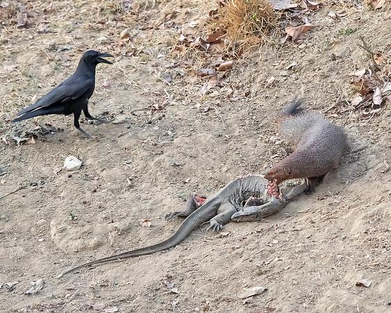 Nagarhole National Park Mongoose