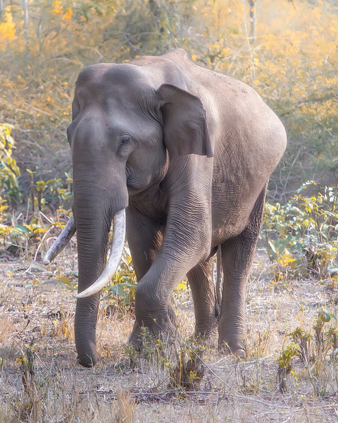 Nagarhole National Park Elephant