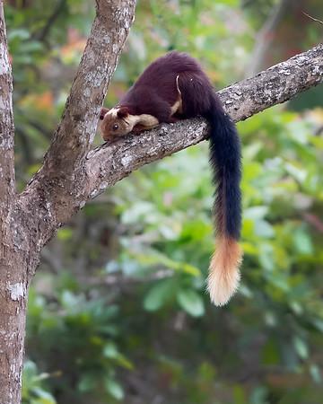 Nagarhole National Park Giant Malabar Squirrel