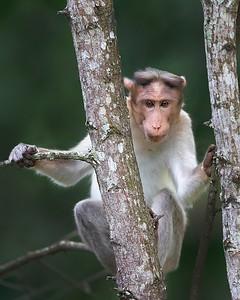 Nagarhole National Park Bonnet Macaque Monkey