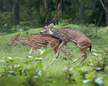 Nagarhole National Park Spotted/Chital/Cheetal/Axis Deer