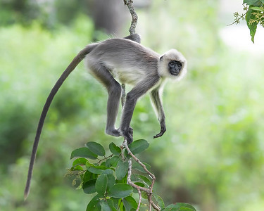 Nagarhole National Park Langur Monkey
