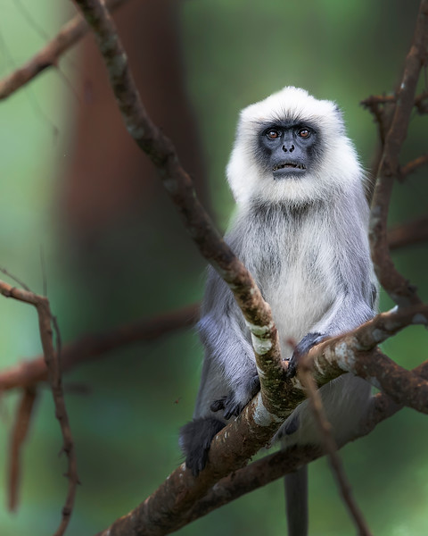 Nagarhole National Park Languar Monkey