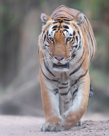 Kanha National Park Tiger (T29)