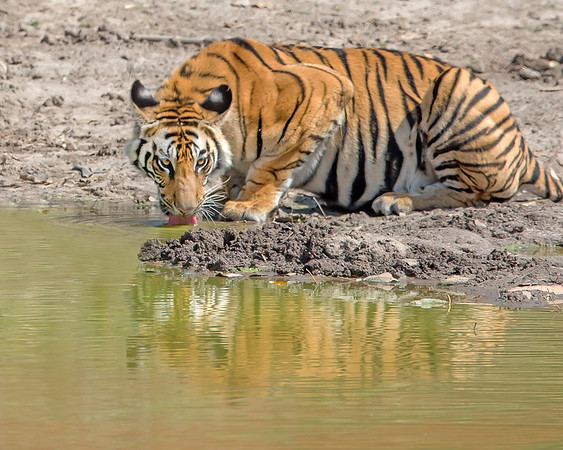 This photograph of a drinking Bengal Tiger was captured within Bandhavgarh National Park, India (4/13).   This photograph is protected by the U.S. Copyright Laws and shall not to be downloaded or reproduced by any means without the formal written permission of Ken Conger Photography.