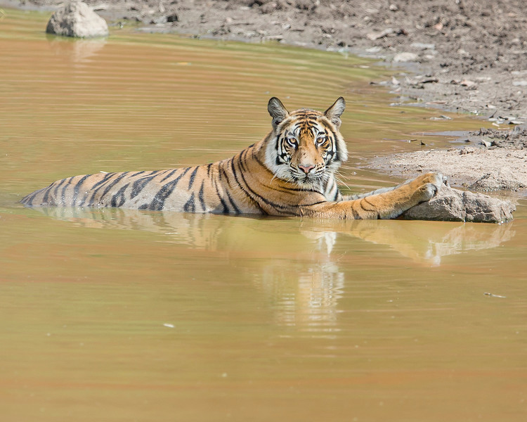 This photograph of a cooling off in water Bengal Tiger was captured within Bandhavgarh National Park, India (4/13).   This photograph is protected by the U.S. Copyright Laws and shall not to be downloaded or reproduced by any means without the formal written permission of Ken Conger Photography.