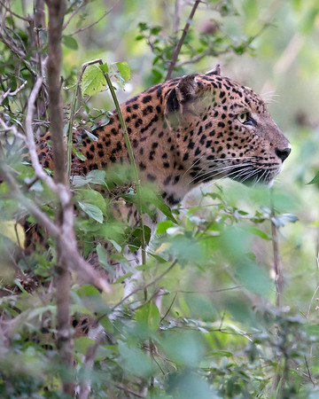 This photograph of a hunitng Sri Lankan Leopard was captured within Yala National Park, Sri Lanka (4/13).   This photograph is protected by the U.S. Copyright Laws and shall not to be downloaded or reproduced by any means without the formal written permission of Ken Conger Photography.