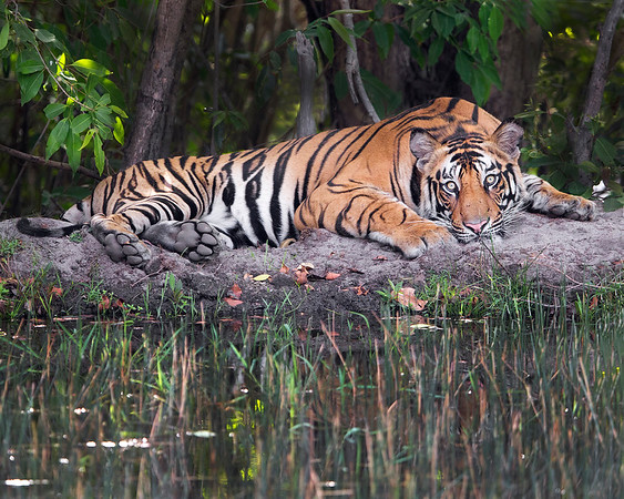 This photograph of a laying down Bengal Tiger was captured within Bandhavgarh National Park, India (4/13).   This photograph is protected by the U.S. Copyright Laws and shall not to be downloaded or reproduced by any means without the formal written permission of Ken Conger Photography.