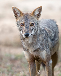 This photograph of a Sri Lankan Jackal was captured within Yala National Park, Sri Lanka (4/13).   This photograph is protected by the U.S. Copyright Laws and shall not to be downloaded or reproduced by any means without the formal written permission of Ken Conger Photography.