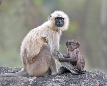 This photograph of a mother Indian Gray Langur or Black Faced Monkey and her baby was captured within Bandhavgarh National Park, India (4/13).   This photograph is protected by the U.S. Copyright Laws and shall not to be downloaded or reproduced by any means without the formal written permission of Ken Conger Photography.