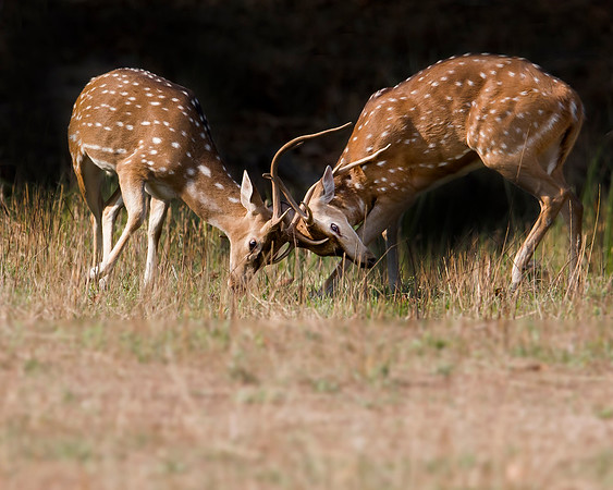 This photograph of clashing India Spotted Deer or Chital Deer or Axis Deer or Cheetal Deer was captured within Bandhavgarh National Park, India (4/13).   This photograph is protected by the U.S. Copyright Laws and shall not to be downloaded or reproduced by any means without the formal written permission of Ken Conger Photography.