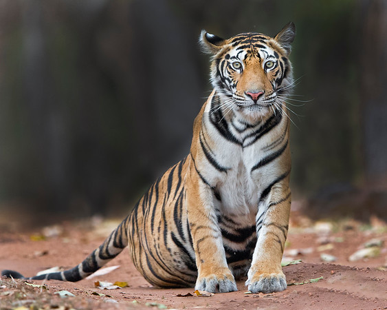 This photograph of a Bengal Tiger was captured within Bandhavgarh National Park, India (4/13).   This photograph is protected by the U.S. Copyright Laws and shall not to be downloaded or reproduced by any means without the formal written permission of Ken Conger Photography.