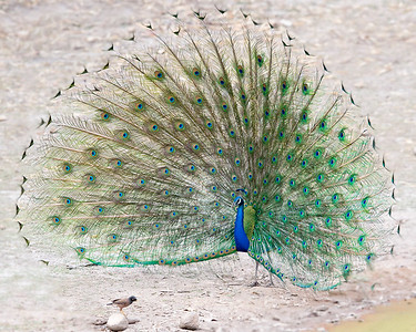 This photograph of a Peacock practicing his displaying techniques for Myna bird was captured within Bandhavgarh National Park, India (4/13).   This photograph is protected by the U.S. Copyright Laws and shall not to be downloaded or reproduced by any means without the formal written permission of Ken Conger Photography.