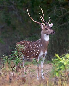 This photograph of India Spotted Deer was captured within Yala National Park, Sri Lanka (4/13).   This photograph is protected by the U.S. Copyright Laws and shall not to be downloaded or reproduced by any means without the formal written permission of Ken Conger Photography.