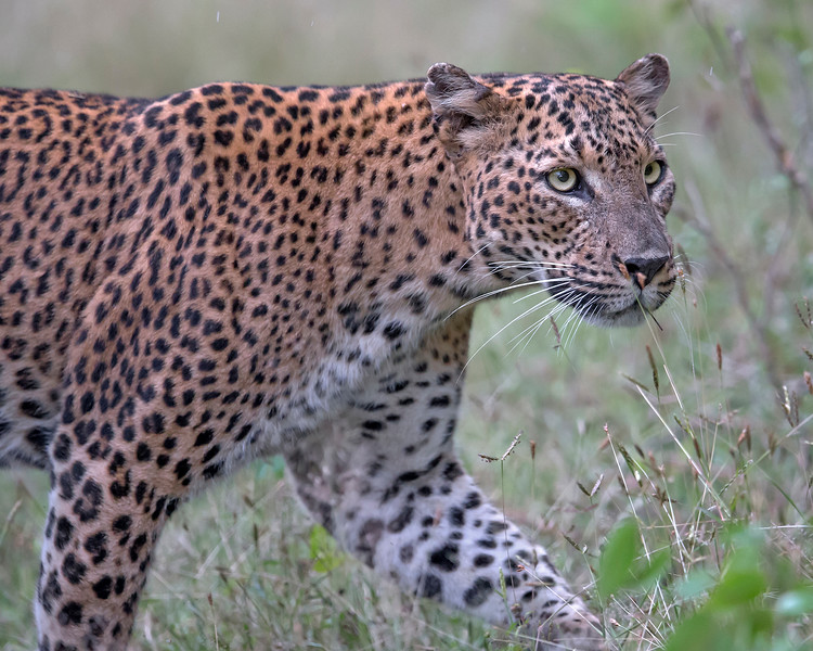 This photograph of a Sri Lankan Leopard was captured within Yala National Park, Sri Lanka (4/13).   This photograph is protected by the U.S. Copyright Laws and shall not to be downloaded or reproduced by any means without the formal written permission of Ken Conger Photography.