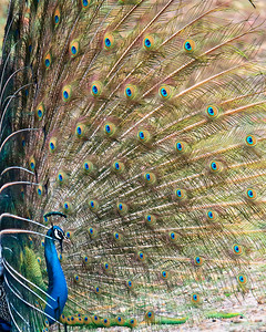 This photograph of a Peacock was captured within Bandhavgarh National Park, India (4/13).   This photograph is protected by the U.S. Copyright Laws and shall not to be downloaded or reproduced by any means without the formal written permission of Ken Conger Photography.