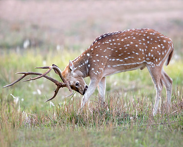 This photograph of India Spotted Deer or Chital Deer or Axis Deer or Cheetal Deer was captured within Bandhavgarh National Park, India (4/13).   This photograph is protected by the U.S. Copyright Laws and shall not to be downloaded or reproduced by any means without the formal written permission of Ken Conger Photography.
