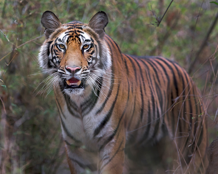This photograph of a young female Bengal Tiger was captured within Bandhavgarh National Park, India (4/13).   This photograph is protected by the U.S. Copyright Laws and shall not to be downloaded or reproduced by any means without the formal written permission of Ken Conger Photography.