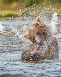 Katmai National Park Brown Bear
