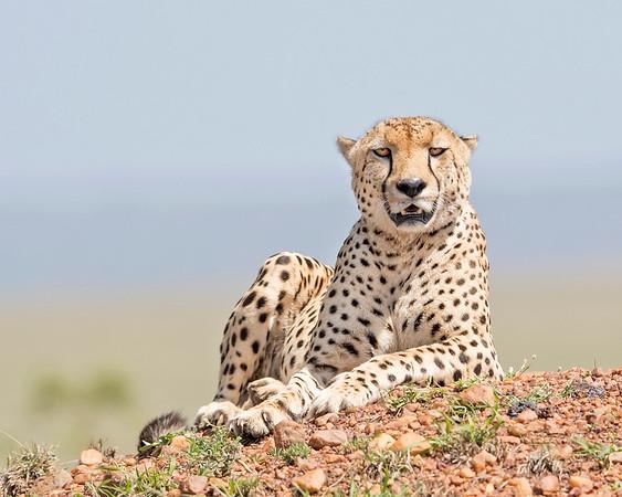 Masai Mara Cheetah