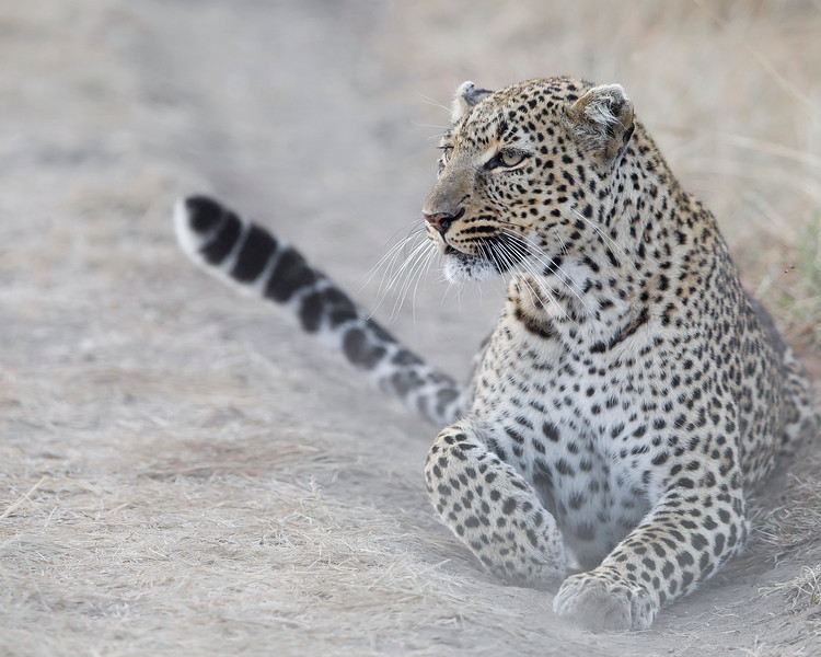 This Leopard photograph was captured in Kenya, Africa (2/12).   This photograph is protected by the U.S. Copyright Laws and shall not to be downloaded or reproduced by any means without the formal written permission of Ken Conger Photography.
