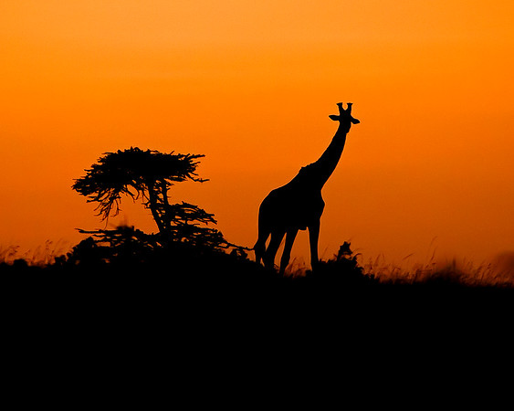 This sunrise silhouette photograph of a Giraffe was captured in Kenya, Africa (2/12).   This photograph is protected by the U.S. Copyright Laws and shall not to be downloaded or reproduced by any means without the formal written permission of Ken Conger Photography.