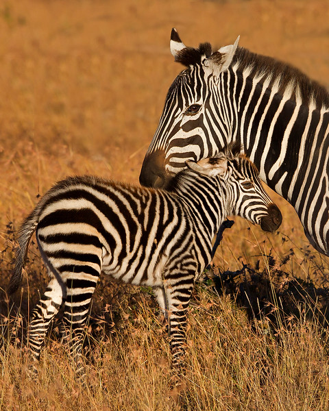 This photograph of a Zebra mother and foal was captured in Kenya, Africa (2/12).   This photograph is protected by the U.S. Copyright Laws and shall not to be downloaded or reproduced by any means without the formal written permission of Ken Conger Photography.
