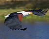 """This photograph of a flying African Fish Eagle was captured in Kenya, Africa (2/12).   <FONT COLOR=""""RED""""><h5>This photograph is protected by the U.S. Copyright Laws and shall not to be downloaded or reproduced by any means without the formal written permission of Ken Conger Photography.<FONT COLOR=""""RED""""></h5>"""
