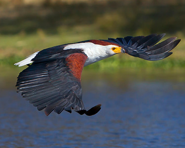 This photograph of a flying African Fish Eagle was captured in Kenya, Africa (2/12).   This photograph is protected by the U.S. Copyright Laws and shall not to be downloaded or reproduced by any means without the formal written permission of Ken Conger Photography.