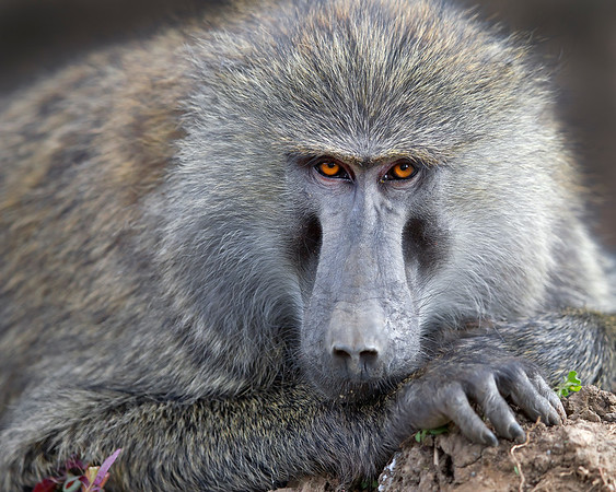 This Baboon photograph was captured in Kenya, Africa (2/12).   This photograph is protected by the U.S. Copyright Laws and shall not to be downloaded or reproduced by any means without the formal written permission of Ken Conger Photography.