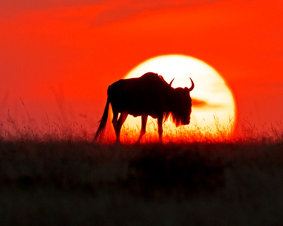 This photograph of a Wildebeest walking in front of a setting sun was captured in Kenya, Africa (2/12).   This photograph is protected by the U.S. Copyright Laws and shall not to be downloaded or reproduced by any means without the formal written permission of Ken Conger Photography.